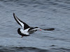 Oystercatcher in flight.