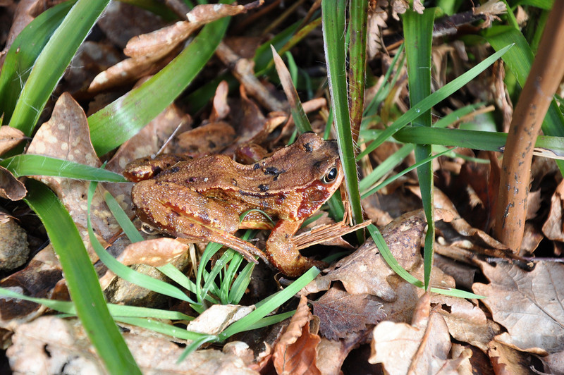 Male frog hiding in the undergrowth, pretending to be a leaf for camouflage.