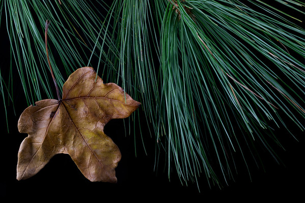 Maple Leaf and Pine Needles