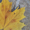 Yellow Maple Leaf on Stone