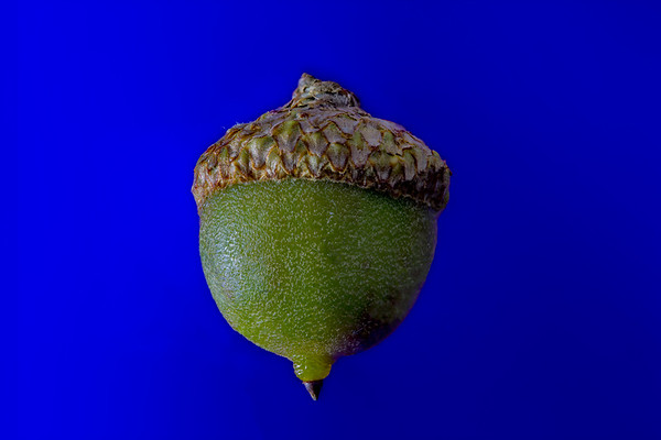 Green Acorn on Blue