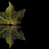 Green and Yellow Maple Leaf
