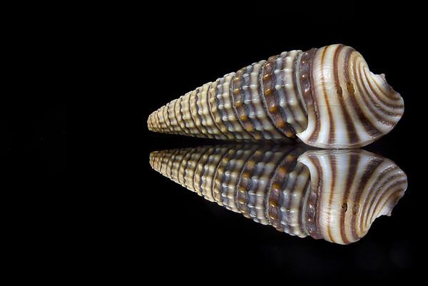 Girdled Horn  Snail (Cerithidea cingulata)