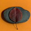 Pear Leaf on River Stone