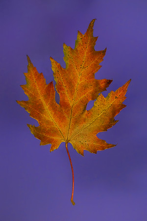 Orange, Red, Maple Leaf