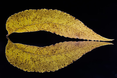Yellow Curvy Leaf