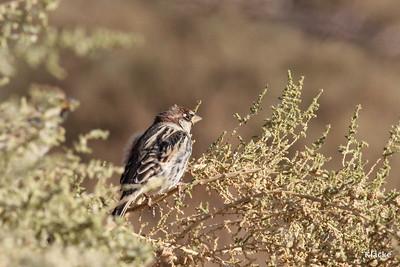 Spanish Sparrow, Spansk Sparv