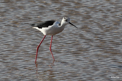 Blackwinged Stilt, Styltlöpare