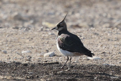 Northern Lapwing, Tofsvipa