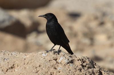 Tristrams Starling, Sinai Glansstare