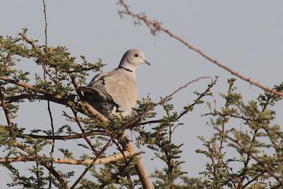 Eurasian Collared Dove, Turkduva