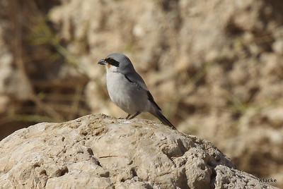 Great Grey Shrike, Varfågel