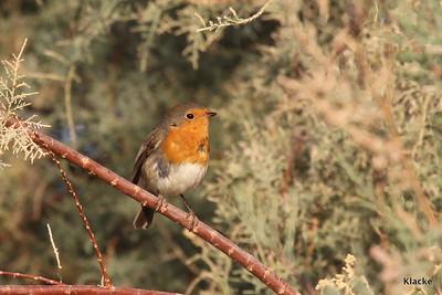 Robin, Rödhake