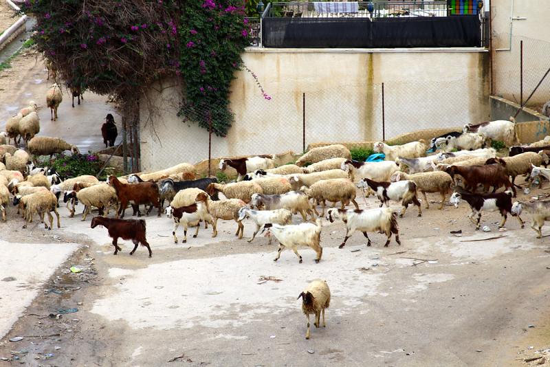 Sheep in Jericho.  This one caught me by surprise, as we were in the middle of a city