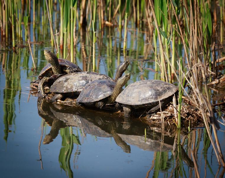 Turtles, Hula