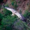 Griffon Vulture, Gamla