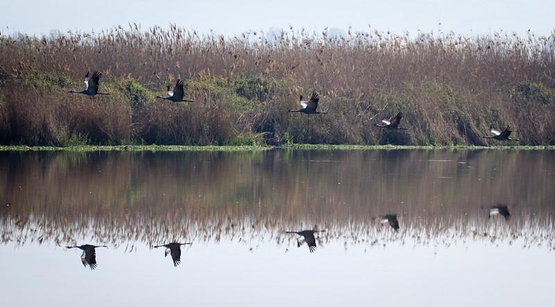 Cranes in Hula