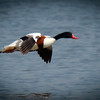 Shelduck in flight, Hula