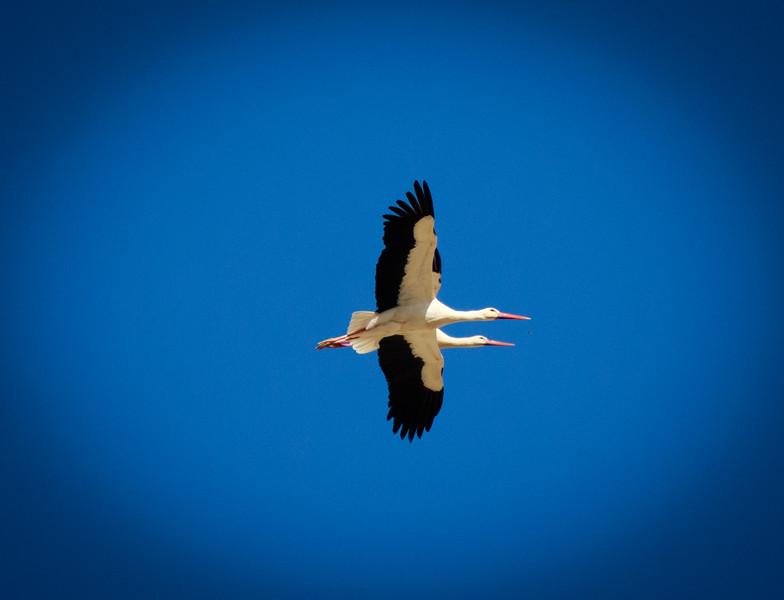 Two headed Stork