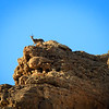 Ibex on Mountain, Ein Gedi