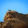 Ibex on Mountain, Ein Gedi