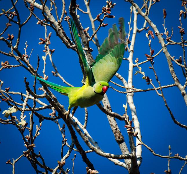 Rose Ringed Parakeet, HaGoshrim