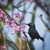 Sunbird in Flowers