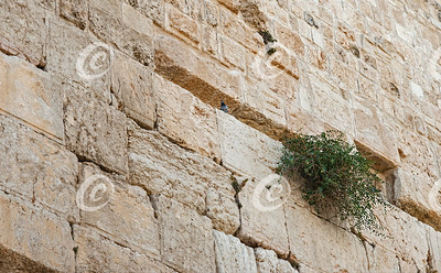 Pigeon and Caper Plant on the Western Wall