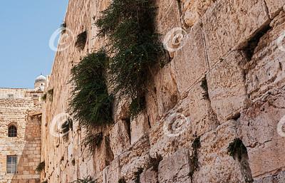 Closeup of Caper Plants Growing in the Western Wall Kotel in Jerusalem