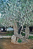 2000 year old olive tree. Scientists from the University of CA at Berkeley carbon dated the olive trees and found that they are around 2000 years old, and so these very trees were in the garden where Christ walked and suffered and was betrayed.