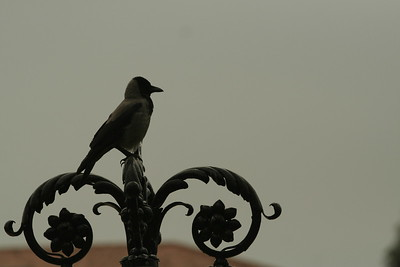 Crow at Bahai Gardens in Bustan Ha Galil