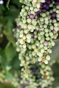 Vines at Bet Jamal Monastery