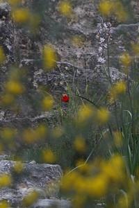 Flowering at Carmel Mt. Israel