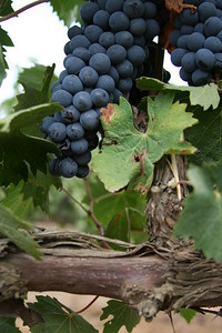 Golan Grapes