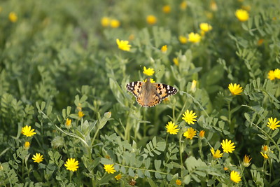 Butterfly amidst yellow flowers