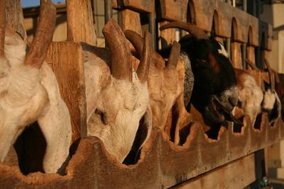 Feeding Goats @ Kornamel