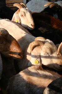 Kornamel Goats