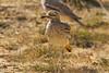 Stone Curlew. כרוון מצוי . Burhinus oedicnemus