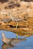 Stone Curlew.  כרוון מצוי ,  Burhinus oedicnemus