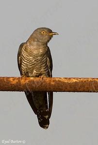 קוקיה אירופית  / Common Cuckoo  / Cuculus canorus