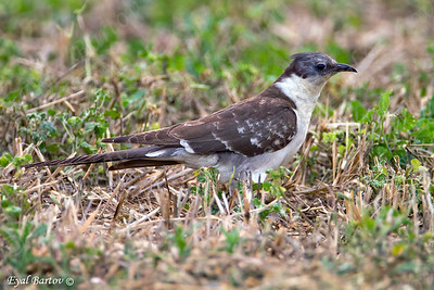Great spotted cuckoo (Clamator glandarius)  קוקיה מצויצת
