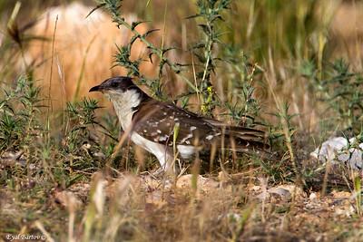 Great spotted cuckoo (Clamator glandarius)  קוקיה מצויצת