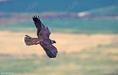 בזי צוקים - Lanner Falcon (Falco biarmicus)