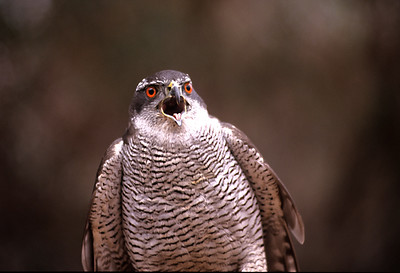 Northern Goshawk - (Accipiter gentilis) -נץ גדול