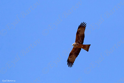 Black Kite (Milvus migrans) - דיה שחורה