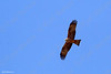 Black Kite (Milvus migrans) דייה מצוייה