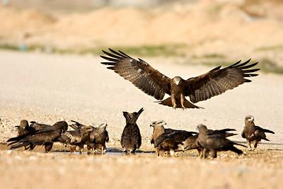 Black Kite (Milvus migrans) - דיה שחורה