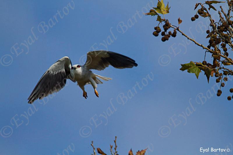 Black-winged Kite - דאה שחורת-כתף