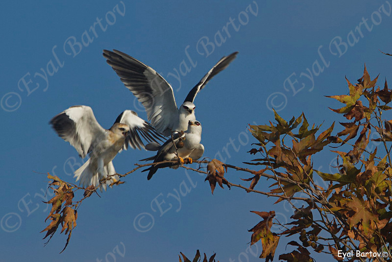 Black-winged Kite - דאה שחורת-כתף