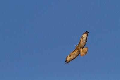 עקב חורף מזרחי Common buzzard( Buteo buteo ssp. vulpinus)
